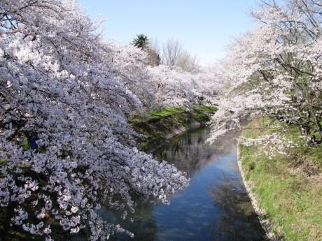 新境川堤の桜
